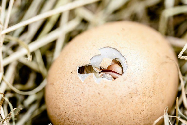éclosion des œufs